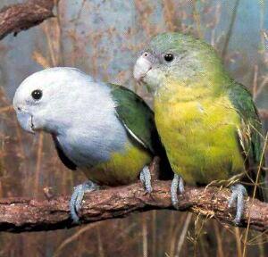 Agapornis Rhode (lovebirds) sau gri-încărunțit Lovebird (Agapornis canus)