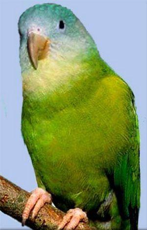 Brotogeris Rhode (uzkoklyuvye papagali) seroschoky chinned popugaybrotogeris pyrrhopterus