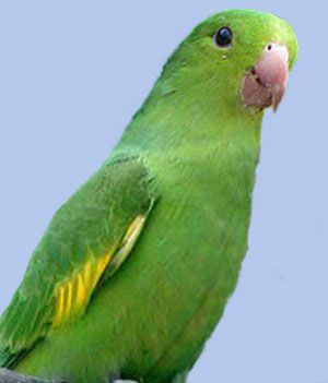 Rhode brotogeris (uzkoklyuvye papagali) tirikabrotogeris tirica