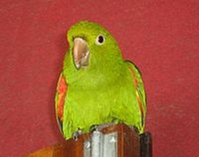 Rhode brotogeristonkoklyuvy papagal krasnokrylyybrotogeris chrysopterus