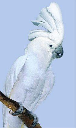 Rhode Cacatua (cacaduu) alb sau alb-incoronat alba mare kakaduplyctolophus (Cacatua alba)