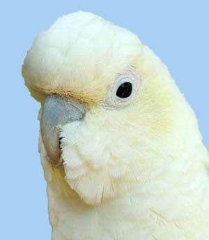 Rhode Cacatua (cacaduu) filipineză kakaducacatua haematuropygia (kakatoe haematuropygia)