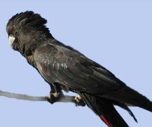 Calyptorhynchus Rhode (Raven sau calyptorhynchus) sau Cockatoo nobil bărbos (palmier cacadu Bănci, papagalului rosu-negru, cacadu marmura) calyptorhynchus magnificus (calyptorhynchus banksii)