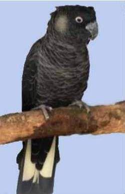 Rhode calyptorhynchus (Raven sau calyptorhynchus) belouhy kakaducalyptorhynchus baudinii