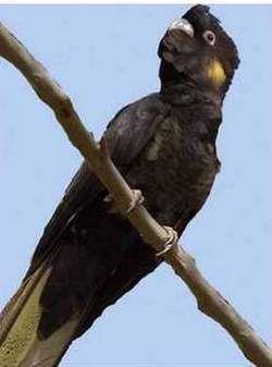 Rhode calyptorhynchus (Raven sau calyptorhynchus) zheltouhy kakaducalyptorhynchus funereus