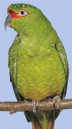 Rhode enicognathuschoroyenicognathus leptorhynchus