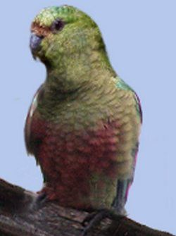 Rhode enicognathusizumrudny popugayenicognathus ferrugineus