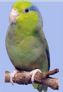 Forpus Rhode (stinghie papagali) facturat-pace, sau papagalul Ceresc lessonaforpus coelestis