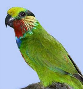 Papagali Rhode pitice (psittaculirostris) psittaculirostris edvardsapsittaculirostris edwardsii