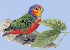 (Rhode micropsitta) pitică papagal bruijnii bruinamicropsitta