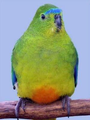 Rhode neophema (neophema) neophema zlatobryuhy sau oranzhevobryuhy (neophema chrysogaster)