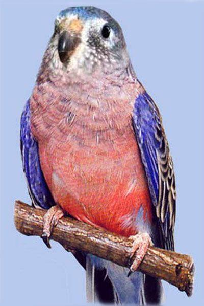 Rhode neophema neopsephotusrozovobryuhie popugaychikirozovobryuhy (bourkii neophema sau bourkii neopsephotus)