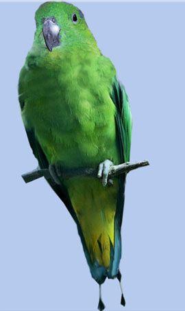 Rhode nitehvostye sau raketohvostye popugaychikiburuysky racheta-coadă (prioniturus mada)