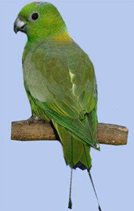 Rhode nitehvostye sau raketohvostye popugaychikimotmot-papagal ilizheltosheyny racheta-coadă (prioniturus platurus)