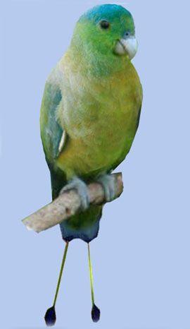 Rhode nitehvostye sau raketohvostye popugaychikisineshapochny racheta-coadă (prioniturus discurus)
