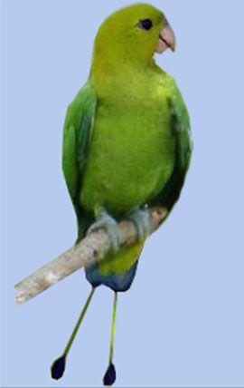 Rhode nitehvostye sau raketohvostye popugaychikizelony sau luzonsky racheta-coadă (luconensis prioniturus)