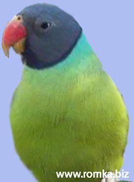 Rhode Psittacula (sate Kolchaty sau ozherelovye papagali) negru asiatic sau negru-nobil popugaypsittacula himalayana