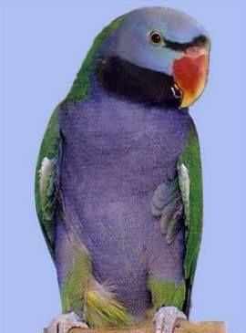 Rhode Psittacula (sate Kolchaty sau ozherelovye papagali) ozherelovy Chineză popugaypsittacula derbiana