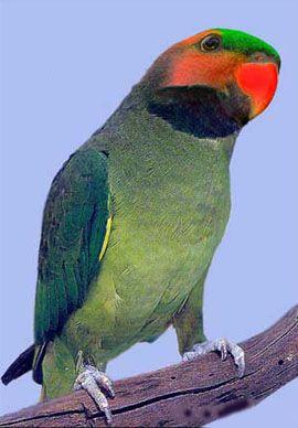 Rhode Psittacula (sate Kolchaty sau ozherelovye papagali) sau nitehvosty LongTail ozherelovy popugaypsittacula longicauda