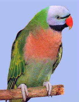 Roda Psittacula (Kolchaty sela ili ozherelovye papagaji) rozovogrudy papagaja (engleski naziv vrste - brkati papagaja) Psittacula alexandri