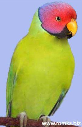 Rhode Psittacula (Kolchaty sela ili ozherelovye papagaji) slivogolovy popugaypsittacula cyanocephala