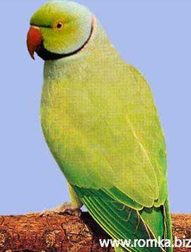 Rhode Psittacula (sate Kolchaty sau ozherelovye papagali) ozherelovy Parrot Kramer iliindiysky inelat popugaypsittacula krameri