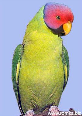 Rhode Psittacula (Kolchaty sela ili ozherelovye papagaji) rozovogolovy ili Red Heads ozherelovy popugaypsittacula roseata