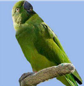 Rhode Psittacula (sate Kolchaty sau ozherelovye papagali) mauritiană ozherelovy popugaypsittacula ecou