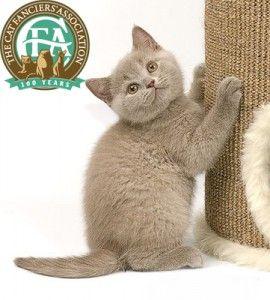 Родословие Британска котка