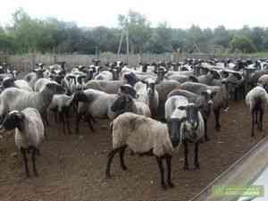 Majoritatea oilor conținute în Tutaev Uglich și OM, în care numărul de ovine din Uglich MO este mai mult de 50% din suprafata șeptelului ...
