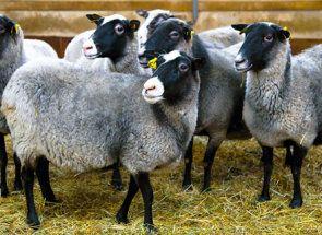 Романов порода - перлата на руски овце