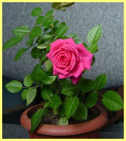 Rose soba njegu i reprodukcija: fotografija