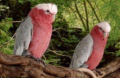 Eolophus kakadurod roz (kakatoe)