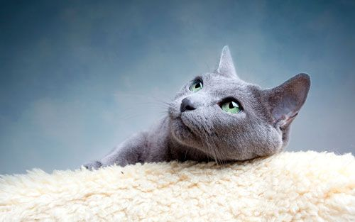 Ruska plava mačka: opis rase i karakteristike brige