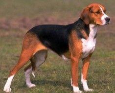 Pas crne i crvene boje
