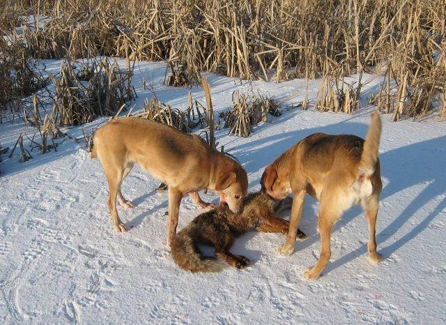 Ruski zime lov psi na lisicu