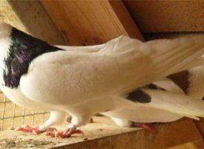 Ruski ljepote - golubovi uzgajati grivuny