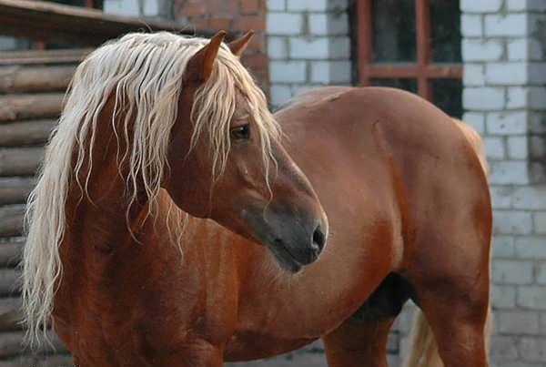 Mladý kôň červená farba