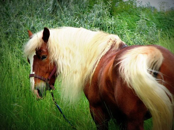 Ruský kôň v tráve