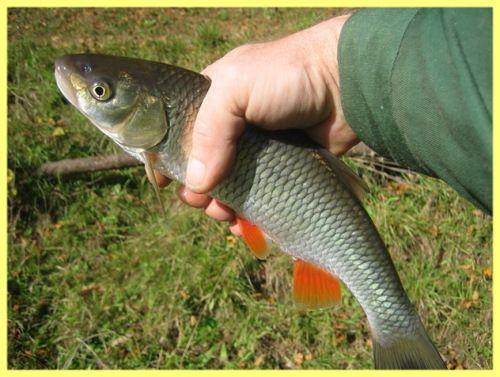 Dace pește pentru a prinde