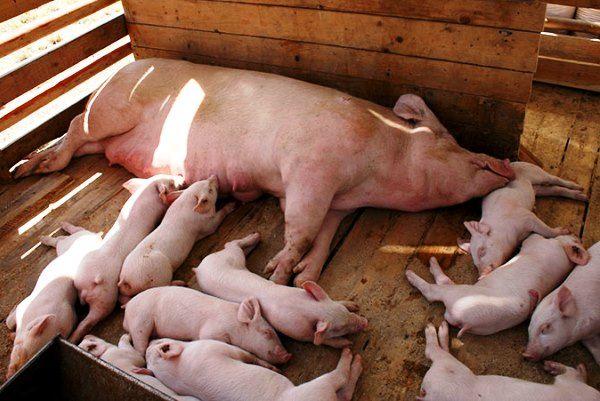 Cum de a începe porc interne