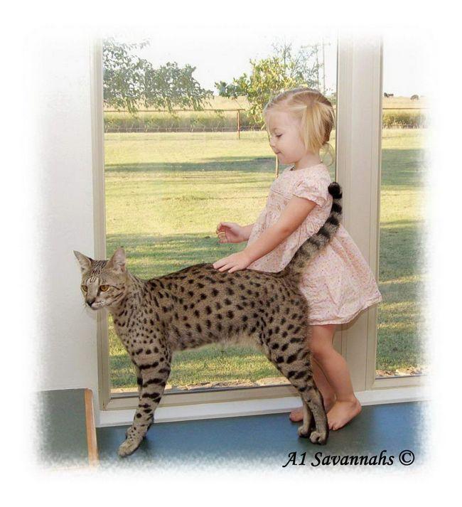 Cat de leopard a primit rasei sale, este numit dupa zeita pagana ebraic Asera.