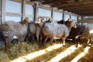Cuprins Hissar rase de ovine