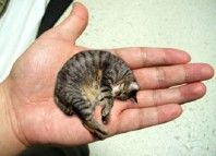 world_smallest_tomcat
