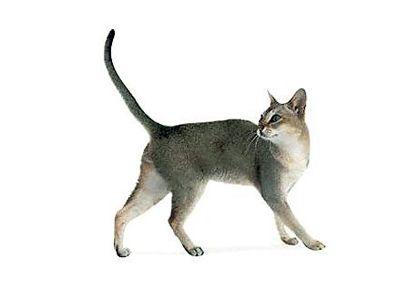 Najmenší Singapur cat