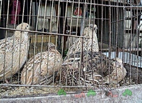 Fotografii de păsări de curte în cuști