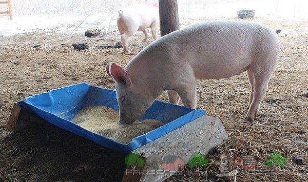 Porc mănâncă o pasăre de casă alimentatoare
