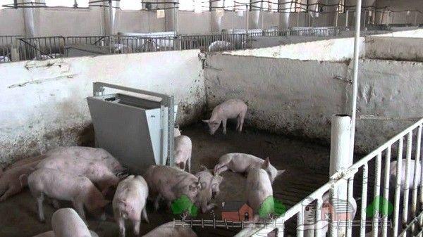 Hrănirea porcilor la o fermă mare