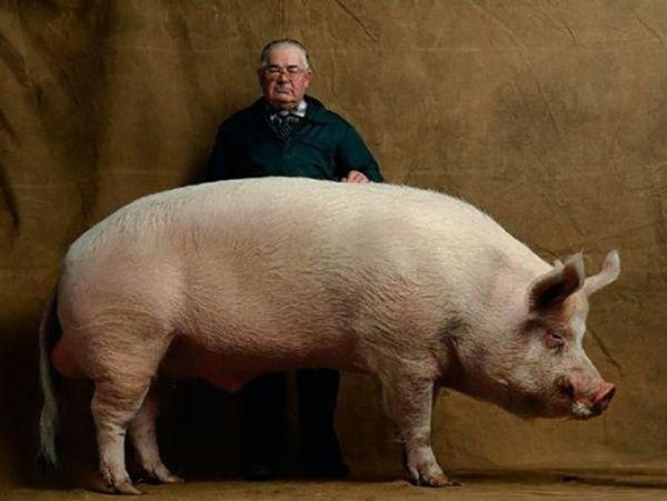 Veliki svinja i njen šef