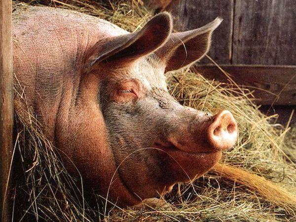Veliki svinja na sijeno